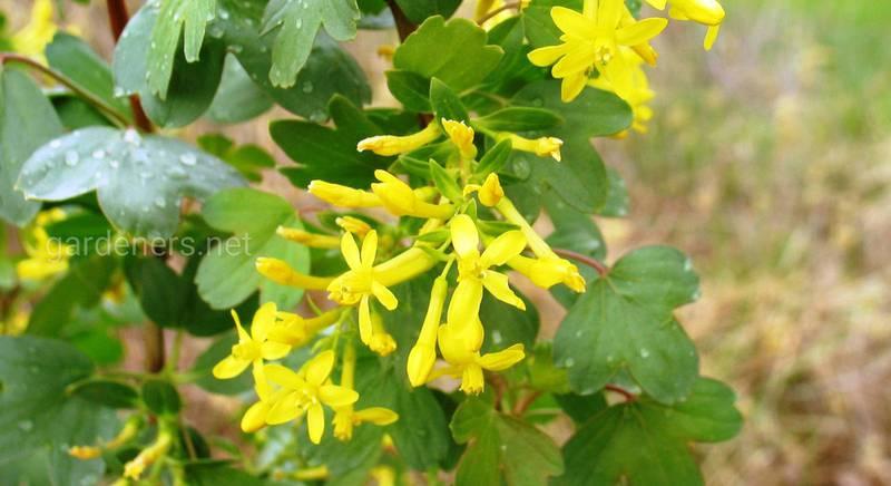 ТОП-6 сортів золотистої смородини: жовтоплідної, бордовоплідної і чорноплідної