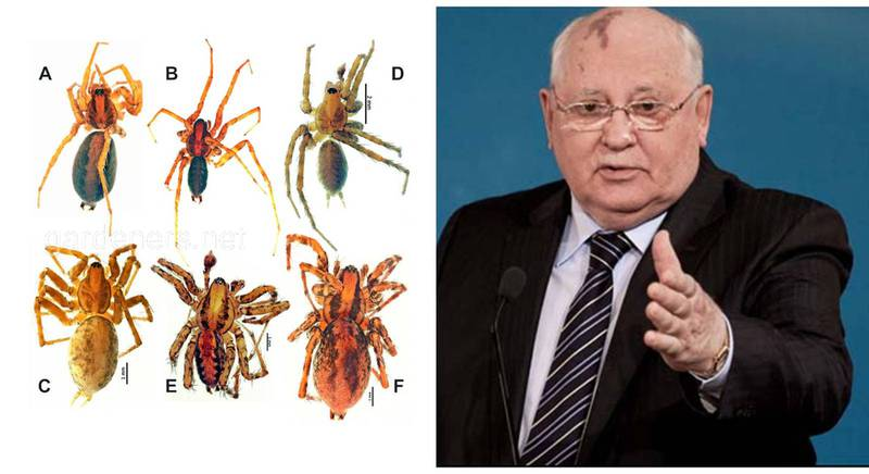 На честь Михайла Сергійовича Горбачова вчені назвали новий вид павуків