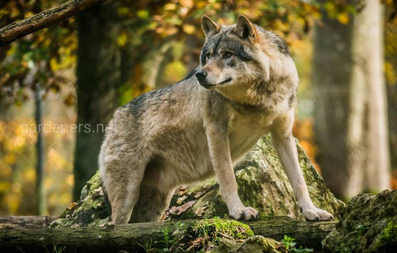 13 цікавих фактів про вовків