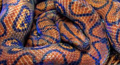 Змея Радужный удав