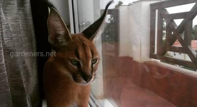 Каракалы, Сервалы, Саванны, Оцелоты-дикие малые кошки в центре внимания