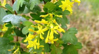 ТОП-6 сортов золотистой смородины: желтоплодные, бордовоплодные и черноплодные