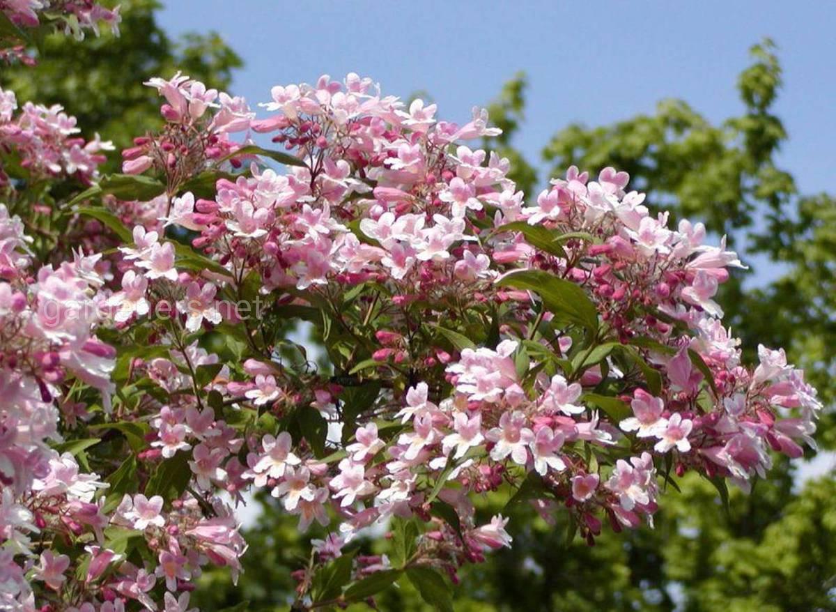 Kolkwitzia amabilis «Pink Cloud»