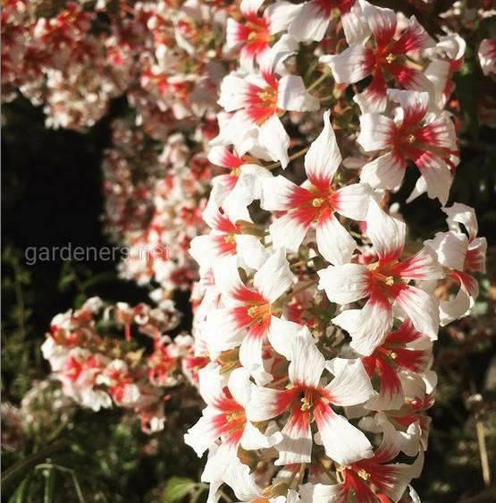 Xanthoceras sorbifolia