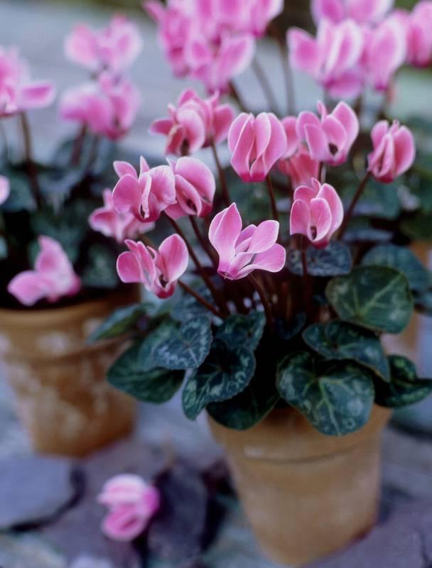 Важливість видалення засохлих або пошкоджених квіт чи листя з домашніх рослин взимку!