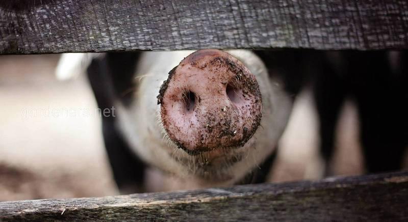 Як приготувати комбікорм для свиней