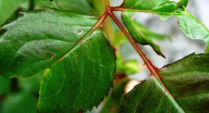 Почему болеют розы? Основные заболевания и вредители розы