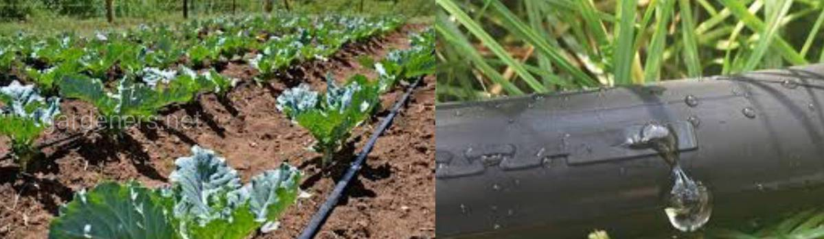 Овощи и фрукты, которые выращиваются при помощи капельного полива, созревают в более ранние сроки