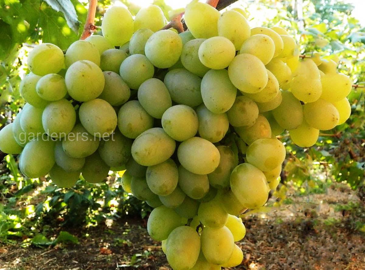 Сорт винограда Беруинца