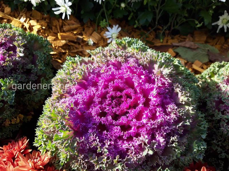 Декоративна капуста - шикарні кольори в похмурі дні, це справжня зимова перлина