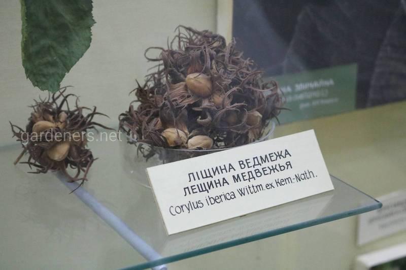 Фундук (Лещина)