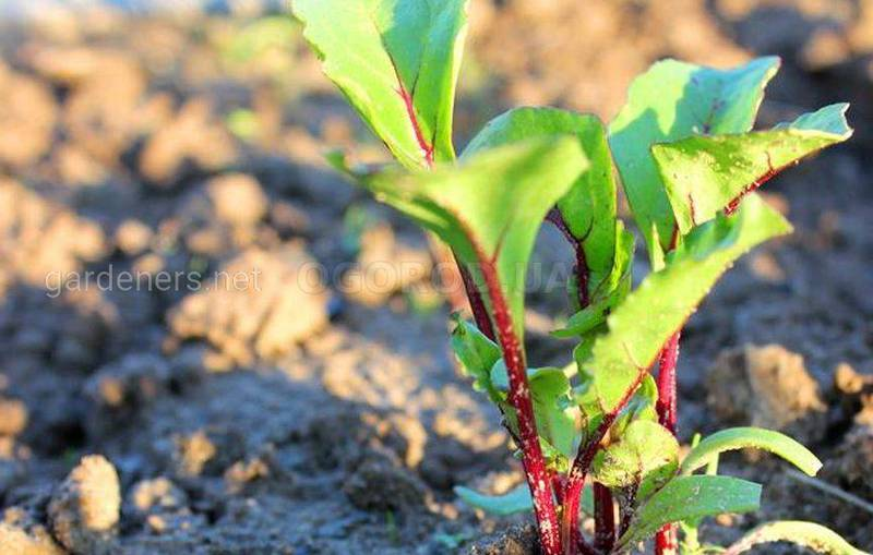 Посев свеклы осенью