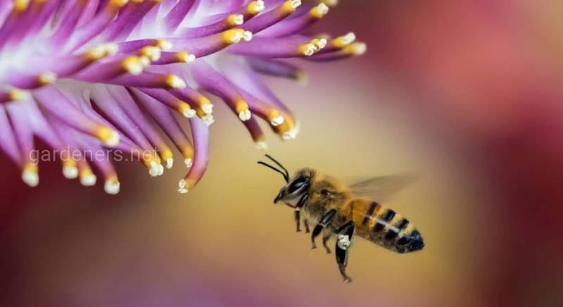 Медоносні бджоли.jpg