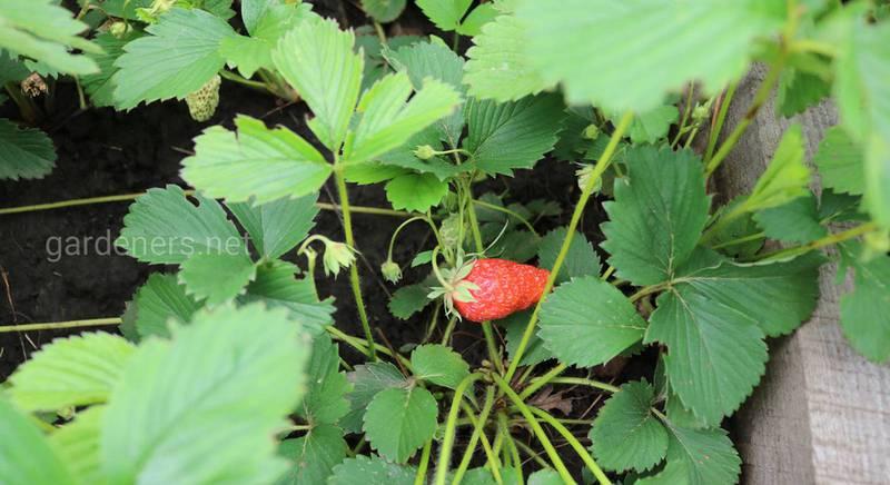 Як правильно годувати полуницю після збору врожаю