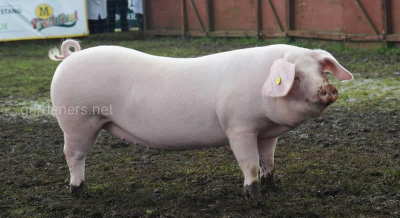 Свині: найбільші породи