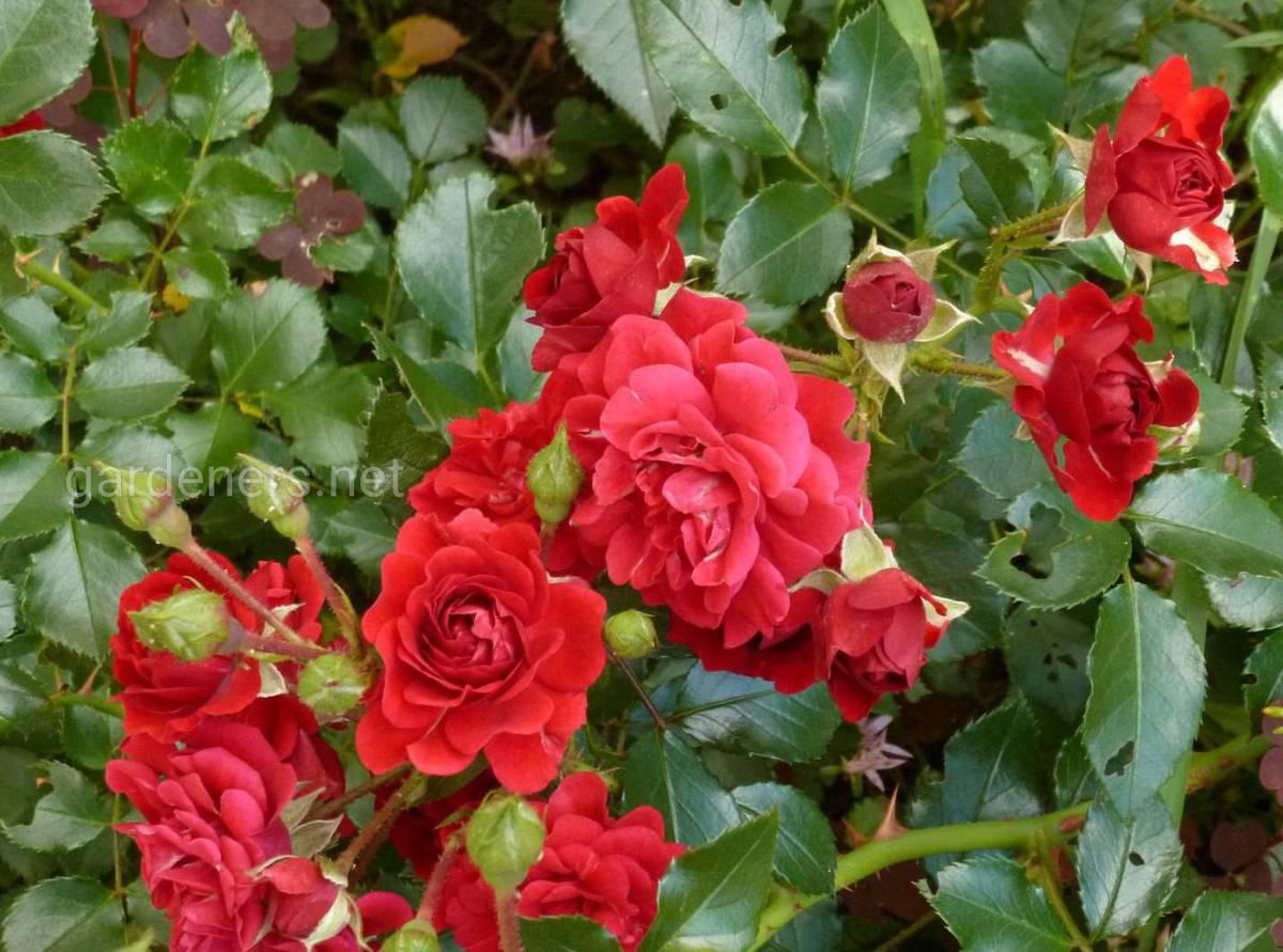 роза Хэллоу