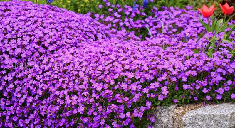 Цветок Обриета: популярные виды и сорта
