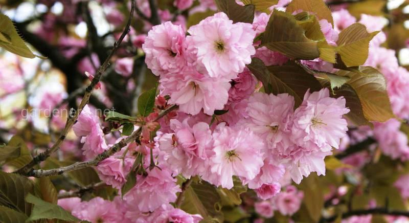 мелкопильчатая вишня виды и сорта