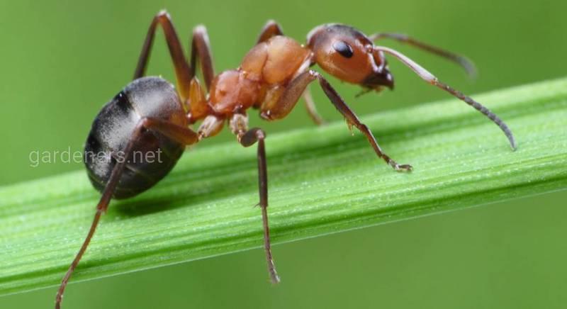 Когда все средства хороши, или борьба с муравьями на огороде