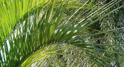 Бутия: посадка и уход за желейной пальмой