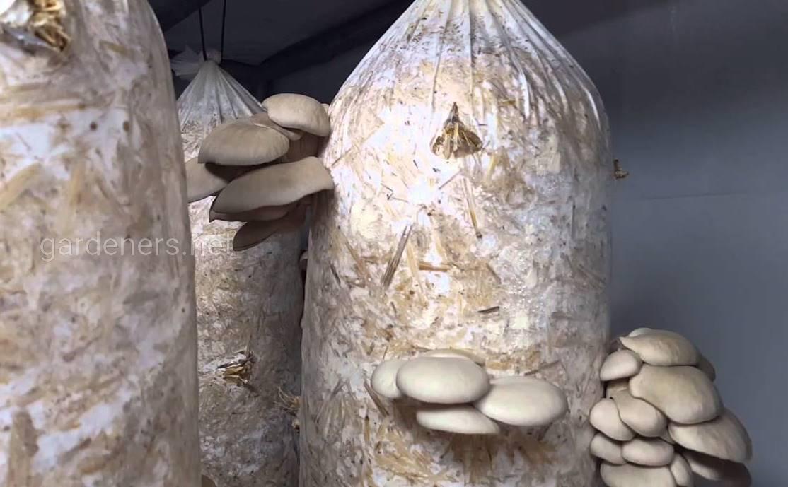 выращивание вешенок в пакете