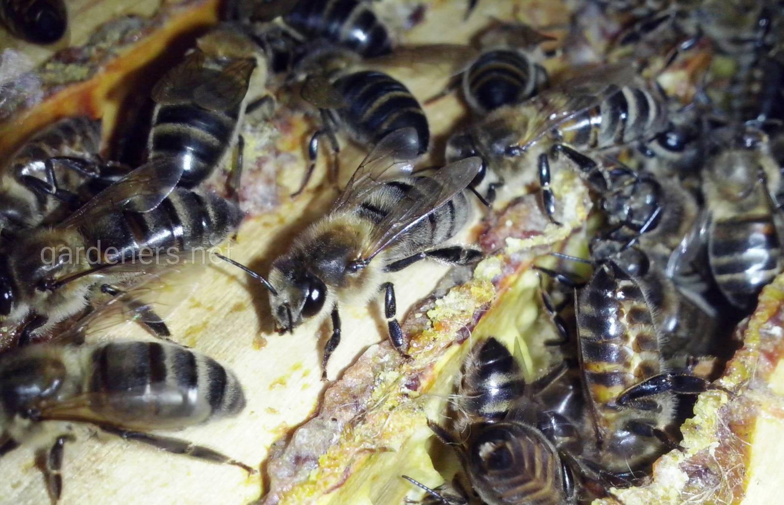 Среднерусская пчела.jpg