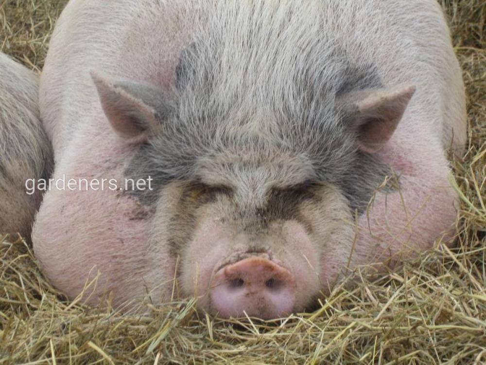 Откорм свиней для мяса