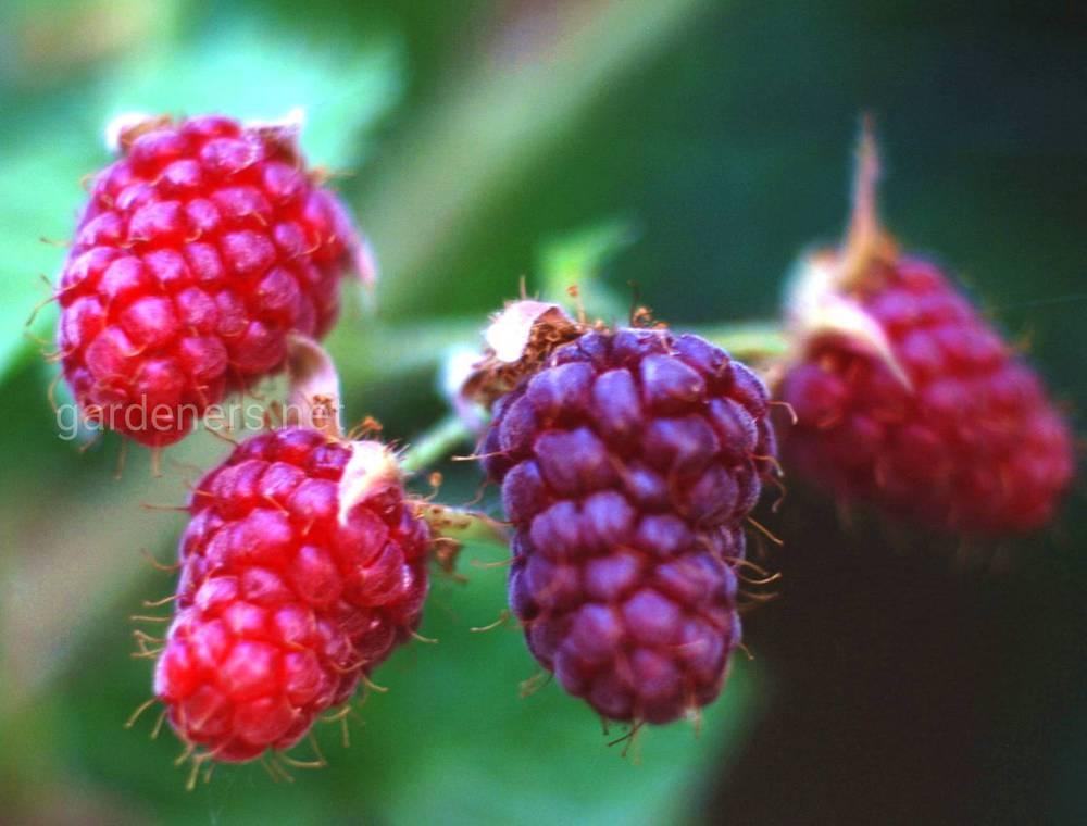 Ежевика Росяника и Логанова ягода