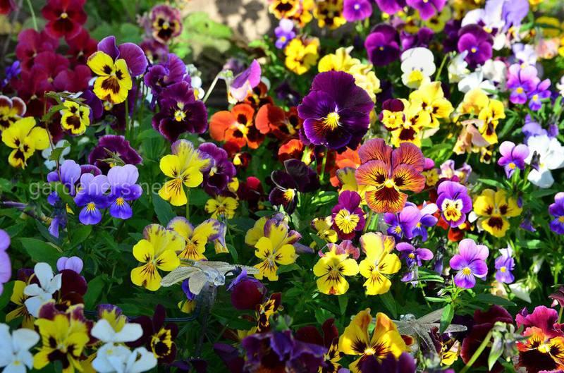 Какие осенние цветы процветают в тени?