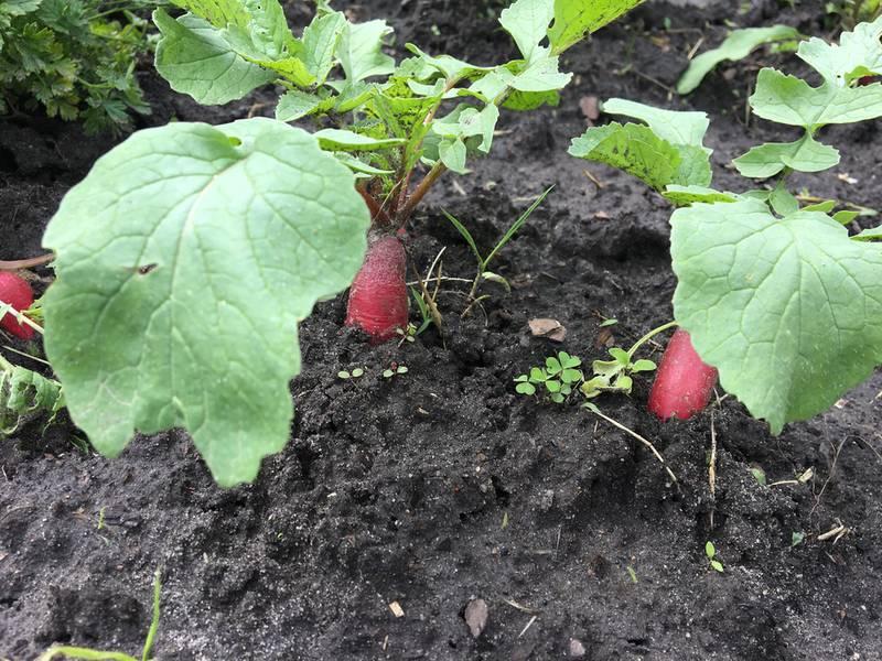 Вирощування редису в відкритому грунті