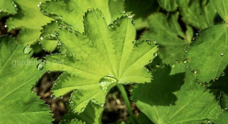 Манжетка - полевое растение с невероятными лечебными свойствами!