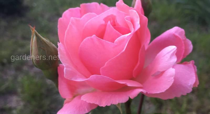 Как сажать розы весной