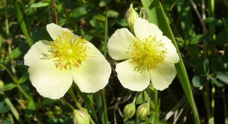 Геліантемум – вічнозелена прикраса саду. Види та сори