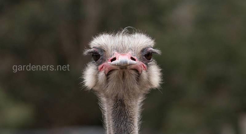 Які породи страусів підходять для розведення в домашніх умовах