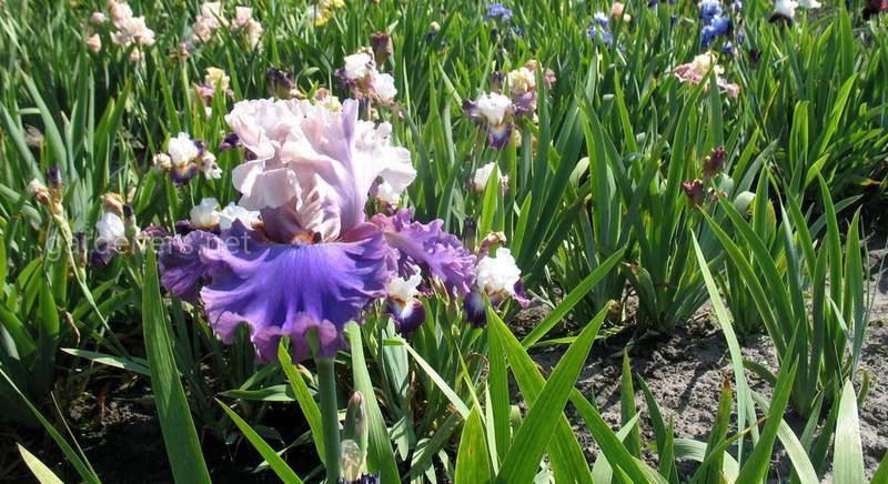 Позитивная энергетика цветов от семьи Якименко. Разнообразие ирисов!