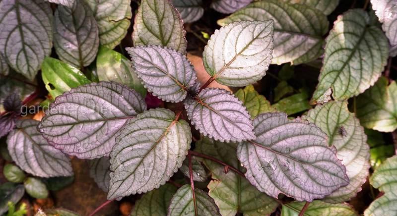 Гемиграфис: посадка, уход, размножение и виды красочного вафельного растения
