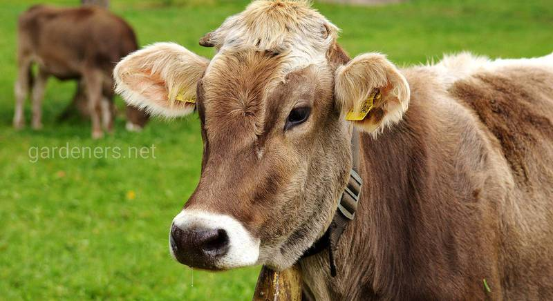 Сколько литров молока дает корова в день?