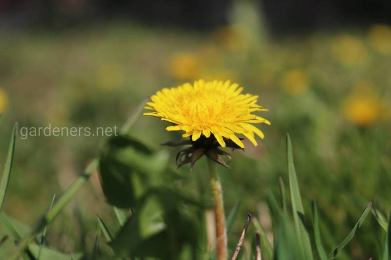 """Мед"" из цветка одуванчика"