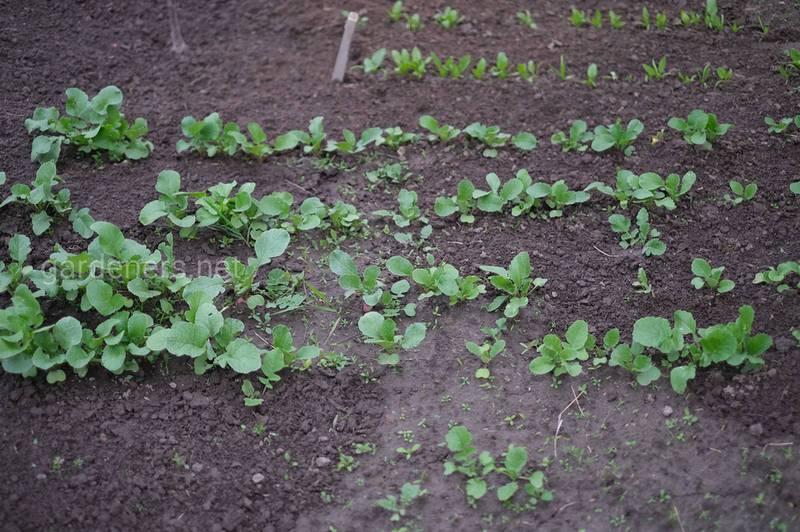 Вибір насіння для посадки редиски
