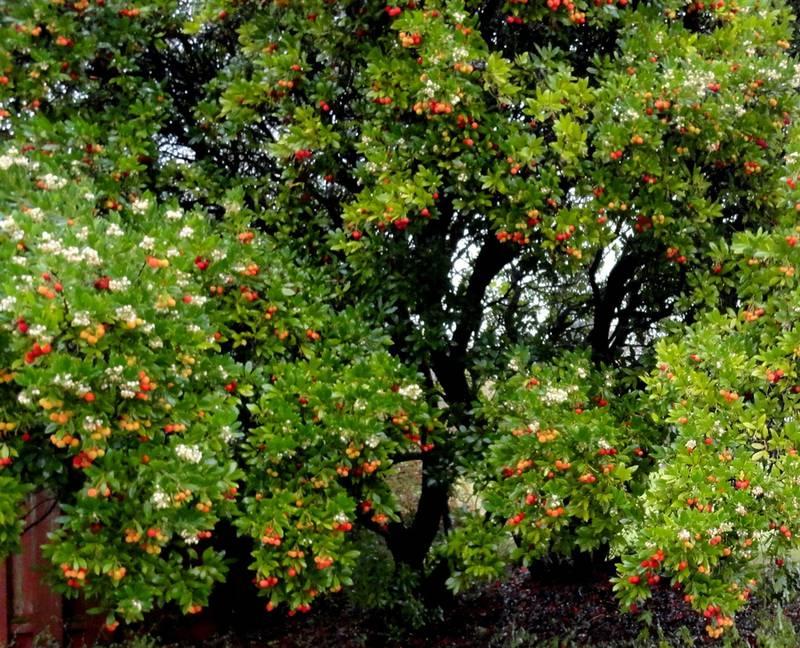 Земляничное дерево