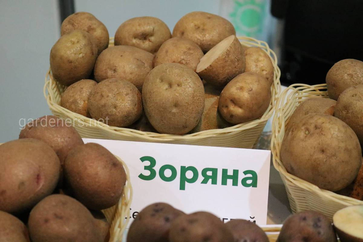 Сорт картоплі Зоряна