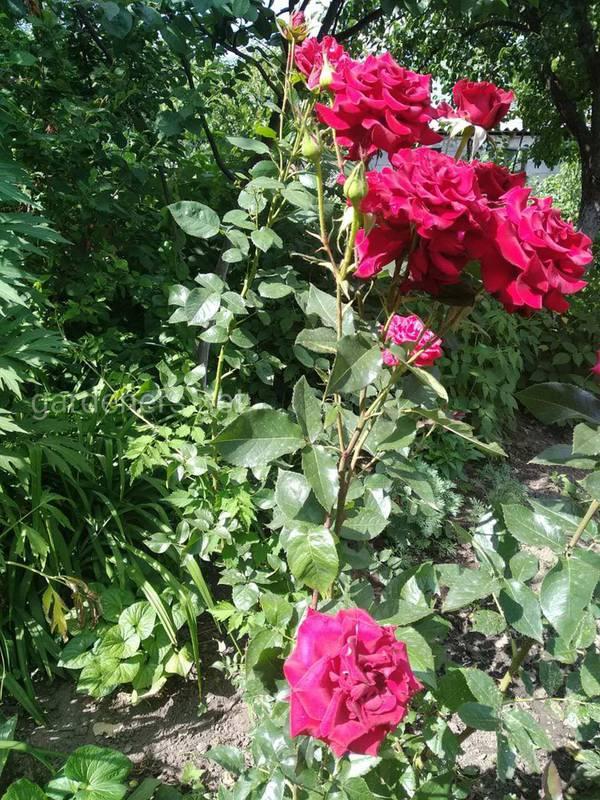 Как сделать правильную обрезку роз?