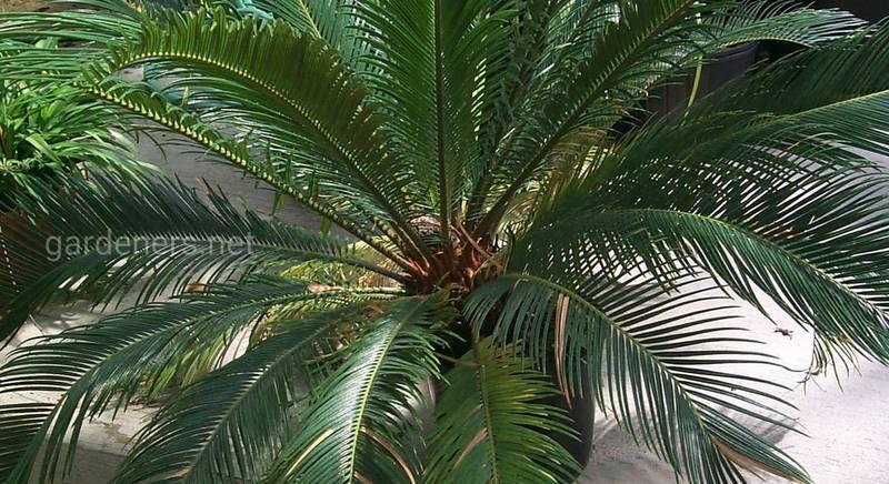 Види та сорти кімнатної пальми цикас з фотографіями