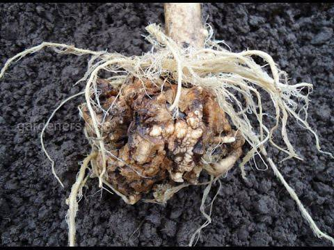 Як захистити врожай від капустяної грижі?