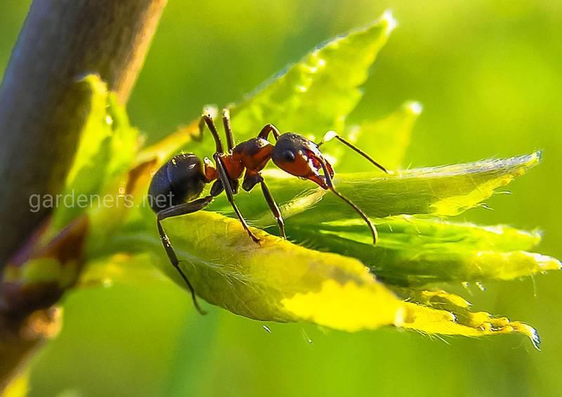 Как приготовить натуральные препараты для борьбы с муравьями?