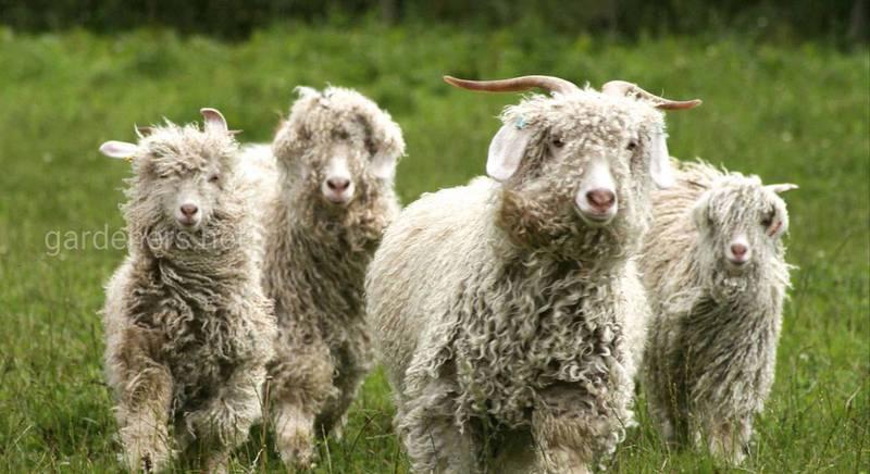 Розведення ангорських кіз
