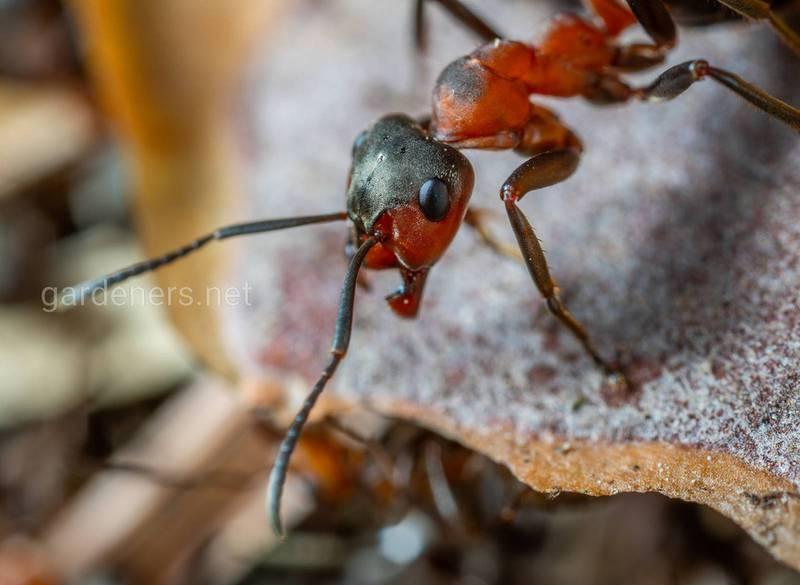 Как естественным способом избавиться от муравьев?