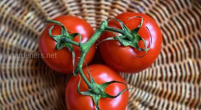 Сорта томатов 2019.jpg