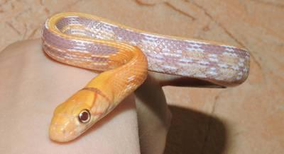 Змея Лучистый полоз альбинос
