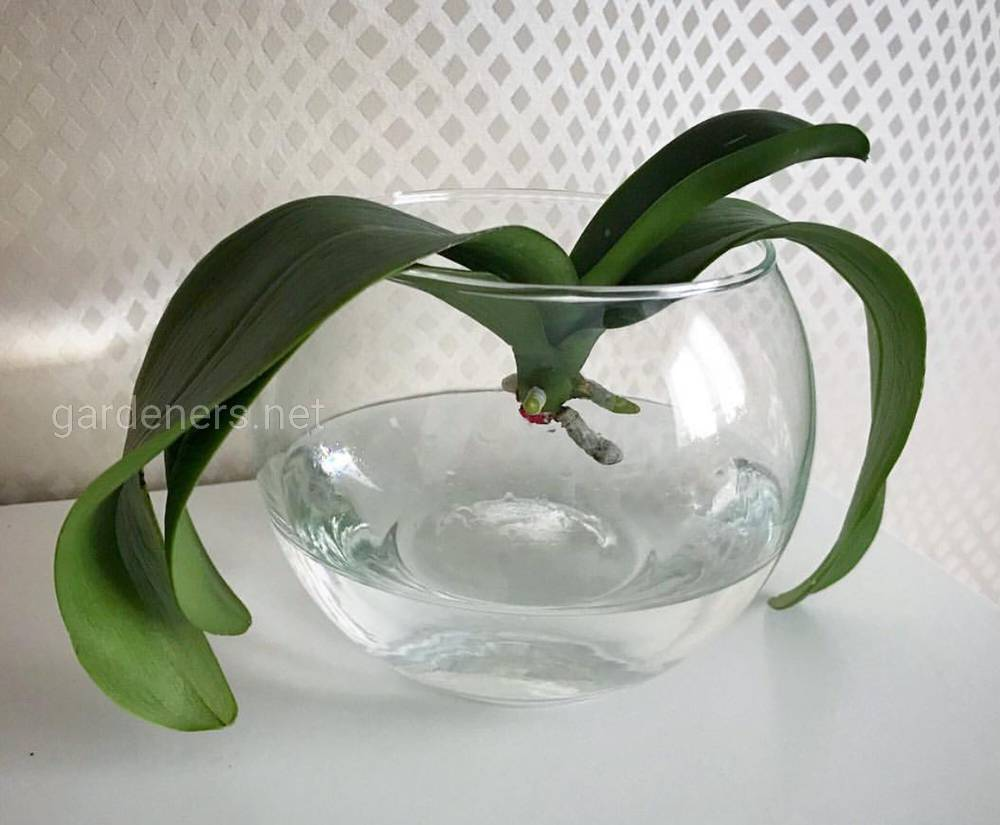 Реанимация орхидей без корней